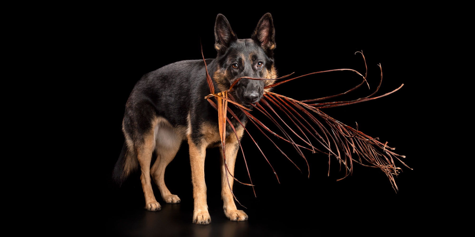 female german shepherd dog with palm frond in mouth