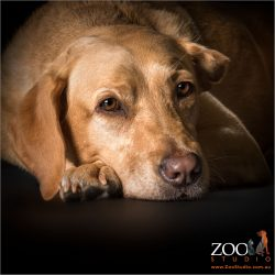 pensive golden labrador girl