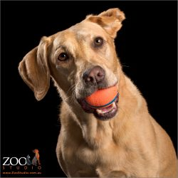 labrador girl with orange ball in mouth