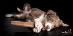adorable border collie puppy chewing on cardboard roll