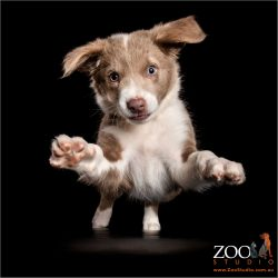 joyful puppy leap from border collie