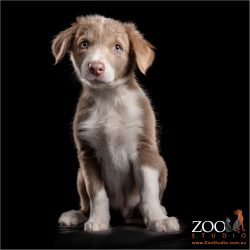 sitting pretty - male border collie puppy