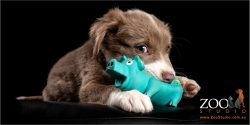 border collie puppy chewing on blue pig toy