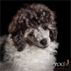parti poodle puppy black and white