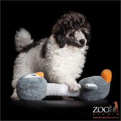 male puppy parti poodle with soft toy
