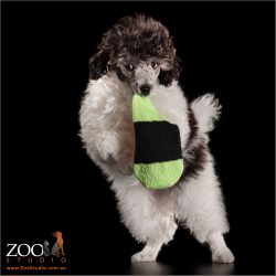 dancing on hind legs woth soft toy male parti  poodle puppy