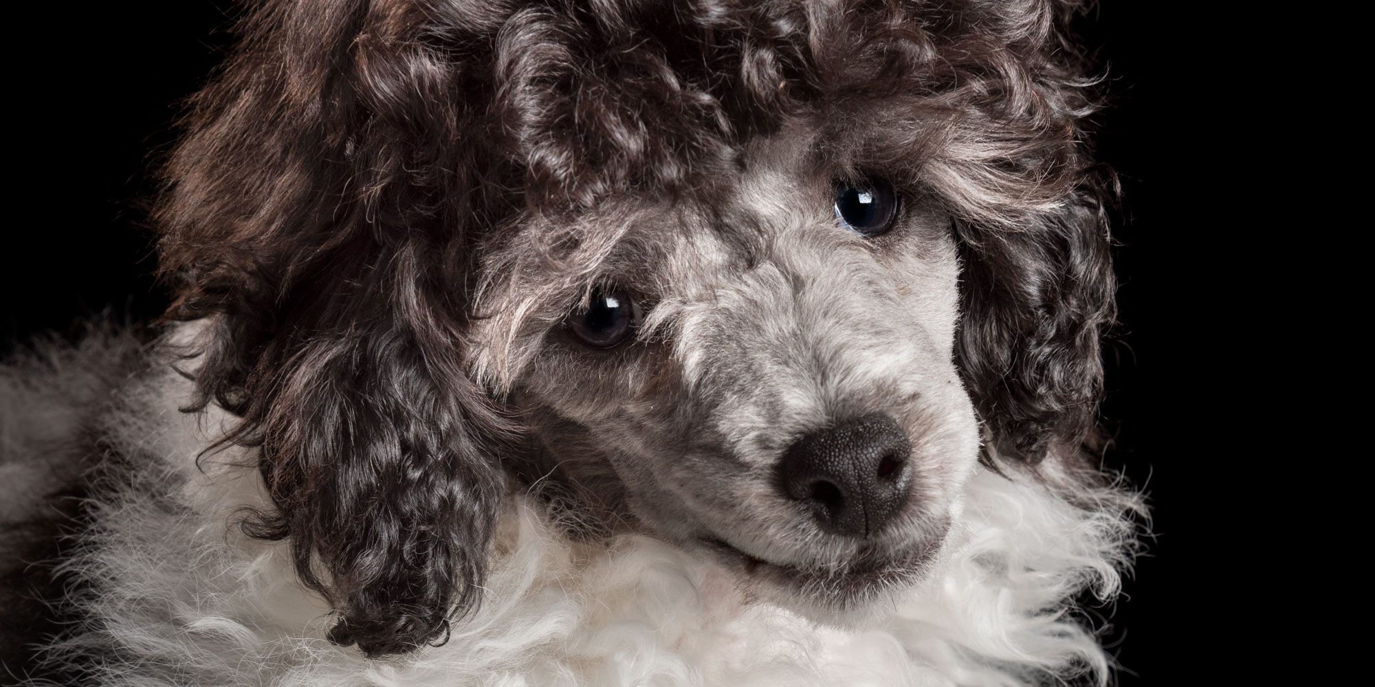 full face of black and white male puppy parti poodle