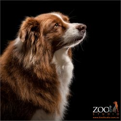 reflective profile of chocolate and white border collie
