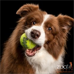 playful chocolate and white border collie with mouth full of tennis ball