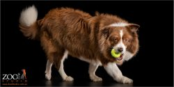chocolate and white female border collie walking with tennis ball in mouth