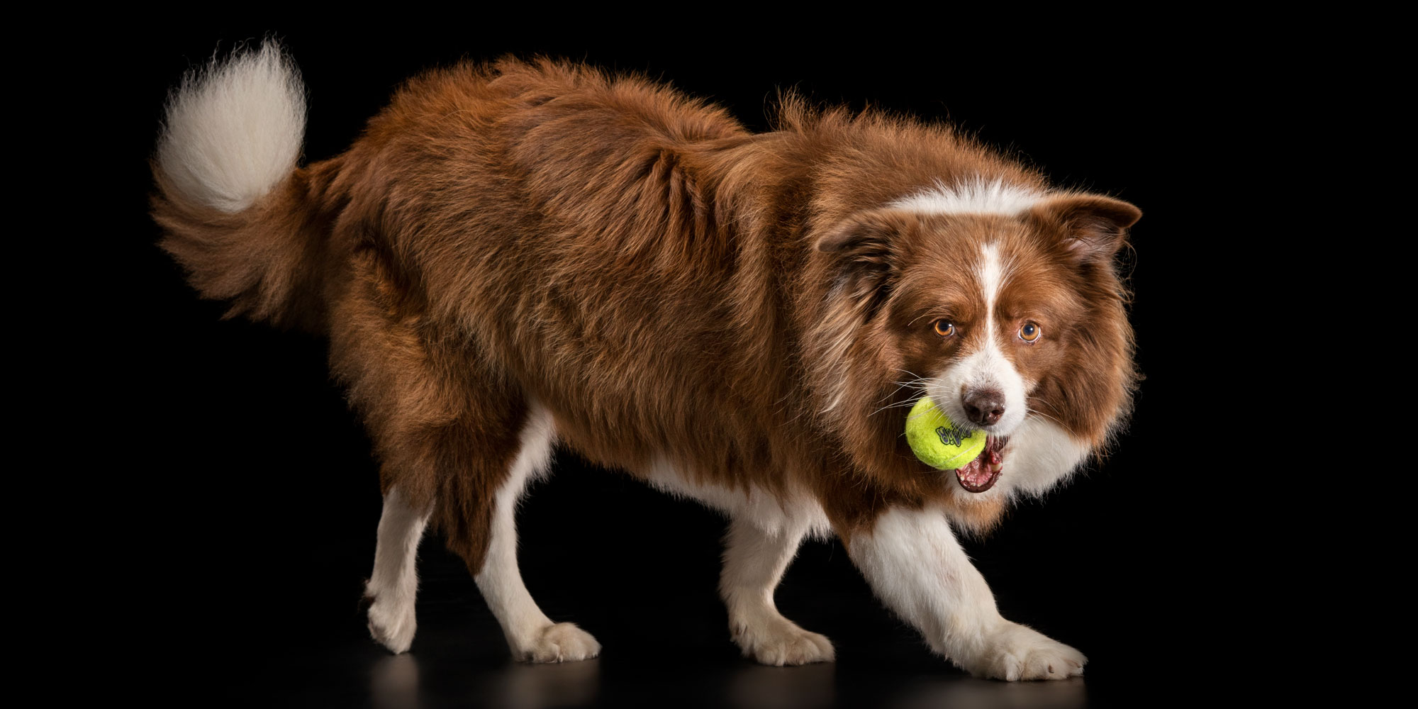 playful chocolate and white girl border collie with tennis ball in mouth