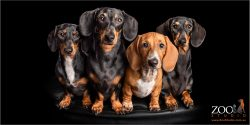 fab four dachshund fur-siblings