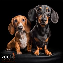 pair of siting dachshunds red and black and tan