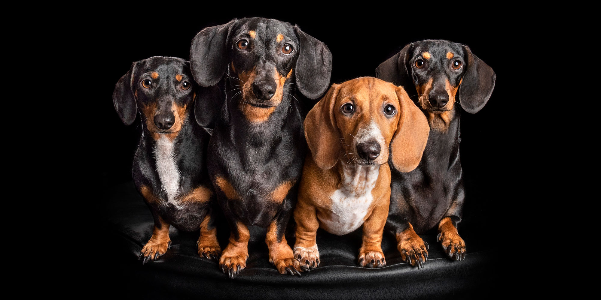 family of four dachshund  fur-siblings sitting together