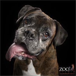 brindle boxer with longest tongue hanging out