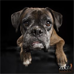 gentle face of senior brindle girl boxer