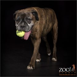 senior female boxer dog with tennis ball and tongue hanging out
