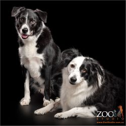 black and white border collie fur-siblings boy and girl
