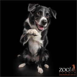 high five from black and white border collie boy
