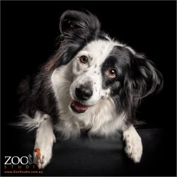 half black half white faced border collie girl