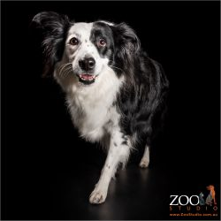 on the prowl black and white border collie girl
