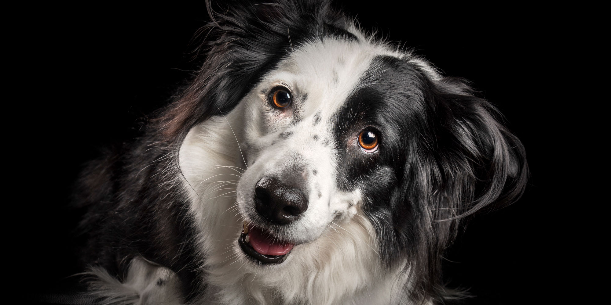 sweet faced female black and white border collie