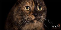 full face of yellow eyed tortoiseshell cat
