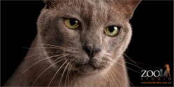 green eyed male burmese cat