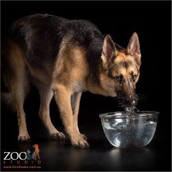 german shepherd girl drinking from glass water bowl