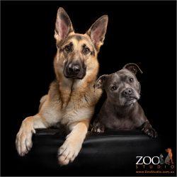 fur sibling sisters staffordshire terrier and german shepherd