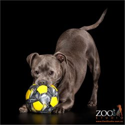 play bow from staffy girl with grey and yellow ball