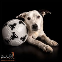 male black and white staffy cross hugging his favourite soccer ball