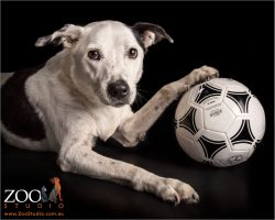 black and white staffordshire  terrier cross tapping his soccer ball