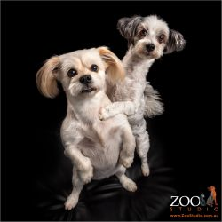 sisterly fur-love shih tzu cross and maltese girls