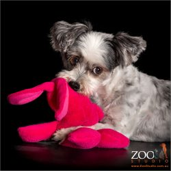 pink toy in mouth of black and white maltese girl
