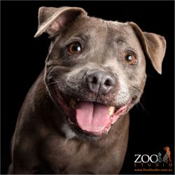 big pink tongued smile from grey staffy