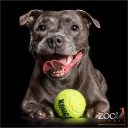 happy  staffy with green tennis ball