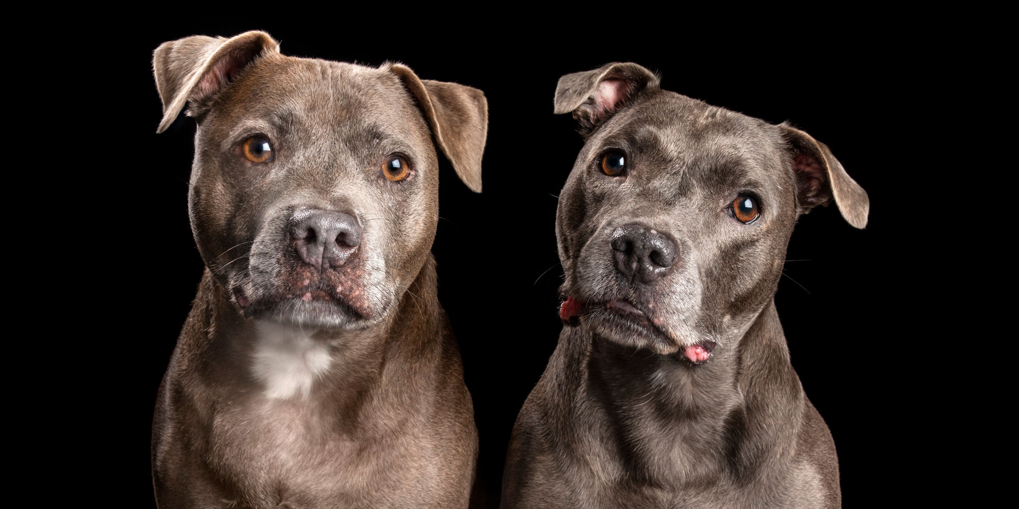 staffordshire bull terrier fur siblings boy and girl
