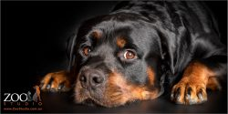 big sook look from male rottweiler