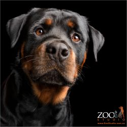 regal stare from rottweiler boy