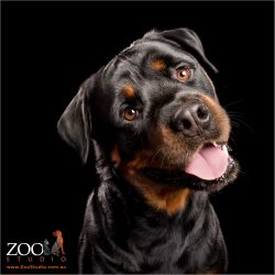 head tilt with a big smile form male rottweiler
