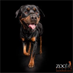 smiling jaunty walk from male rottweiler