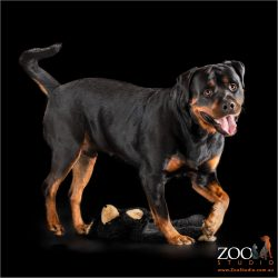 happy rottweiler boy with black and tan soft toy