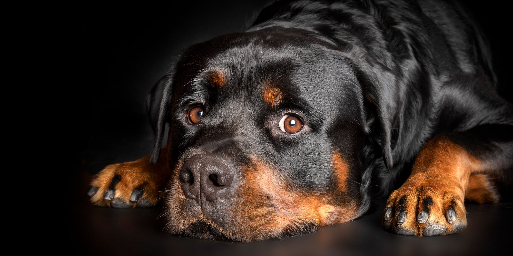 male rottweiler with head resting on ground