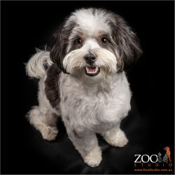 young maltese shih tzu cross male sitting sweetly