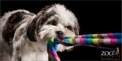 determined tug of war from black and white maltese shih tzu cross