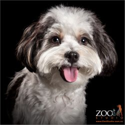 pink tongued happy smiling black and white maltese shih tzu cross