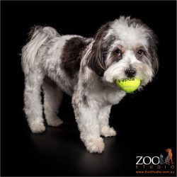 ready to play black and white maltese shih tzu cross boy
