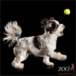 maltese cross chasing tennis ball