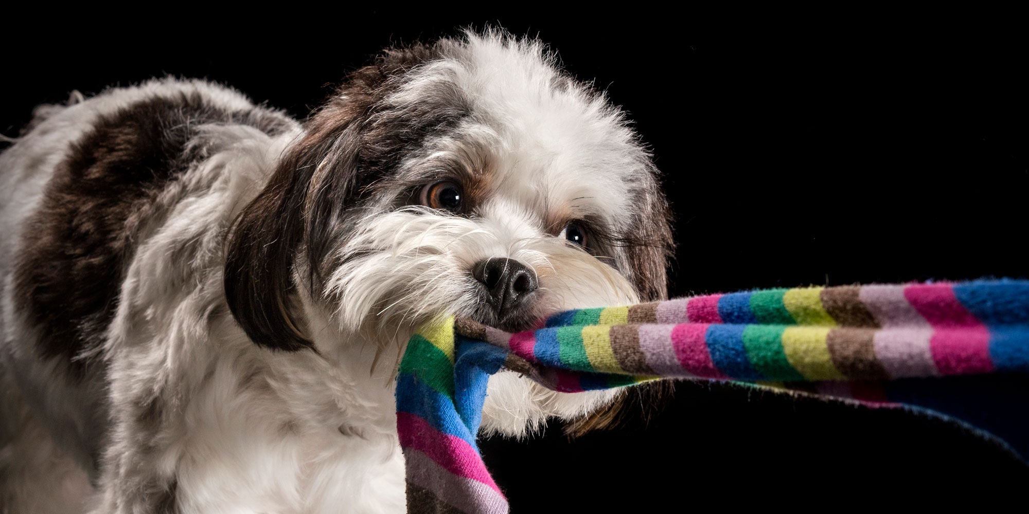 young maltese shih tzu cross tugging colourful sock